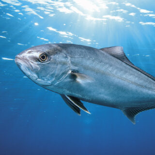 Cromaris Greater Amberjack